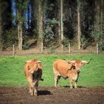 Camino inglés vacas